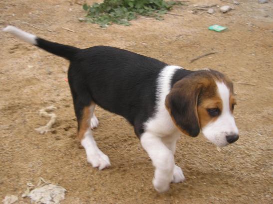 Mehr als 100 Hunde sollen in Maria de la Salut auf Mallorca misshandelt worden sein.