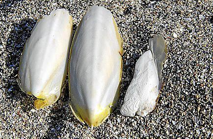 Tintenfisch-Knochen sind vor allem bei Besitzern von Käfigvögeln gefragt.