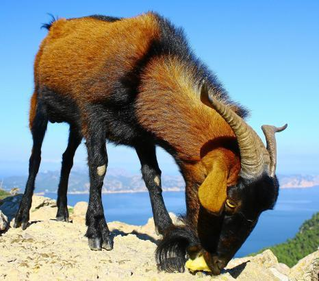 Auch wenn es sie auf Mallorca zu Hauf gibt: Ein Ziegenbock kann in einem Wurstwarenladen für ganz schön viel Trubel sorgen.