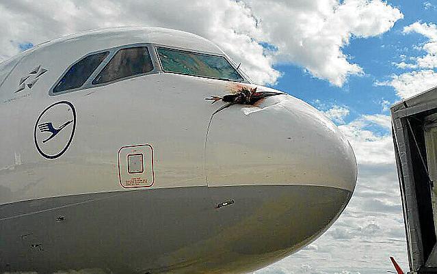 Der tote Mönchsgeier haftete auch nach der Landung noch am Bug der Lufthansa-Maschine in Palma.