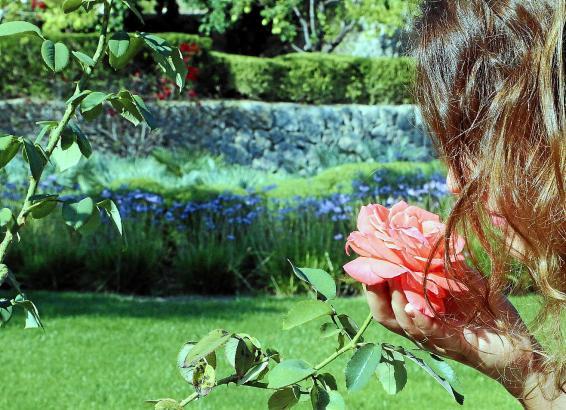 Die Rosen stehen nun zum zweiten Mal in diesem Jahr in Blüte, sie brauchen auf Mallorca allerdings besondere Zuwendung
