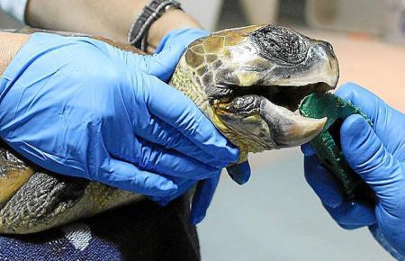 Meeresschildkröte Vera hat die rechte Vorderflosse verloren und zudem eine eiternde Wunde im Maul. Auf Mallorca wird sie untersu