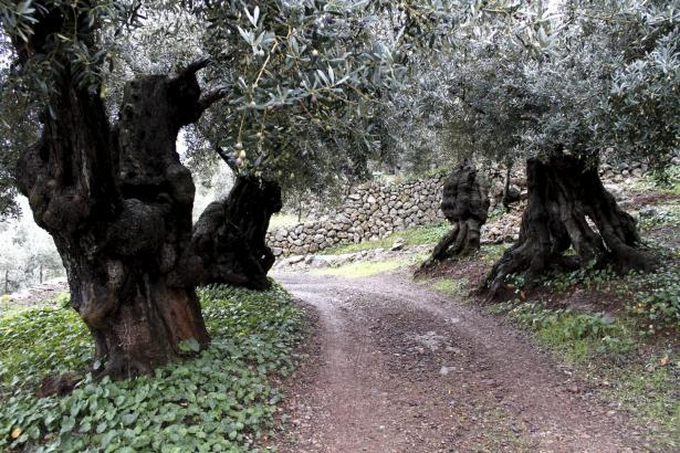 Alte Olivenbäume bei Sóller.
