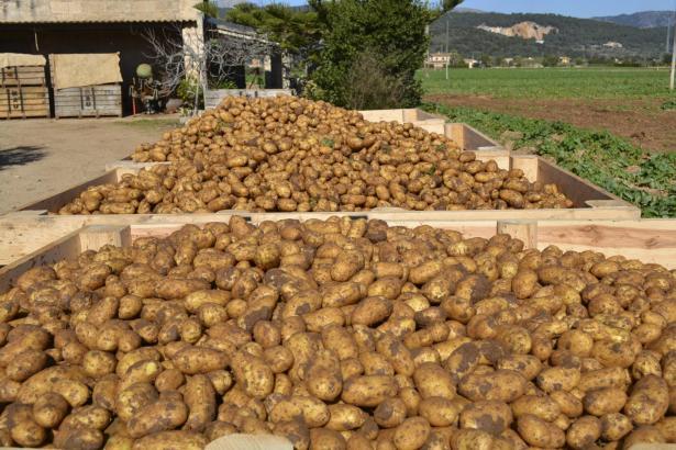 Das erste Pilotprojekt zur Unterstützung der lokalen Landwirte wurde in Sa Pobla in den Kartoffelbetrieben gestartet.