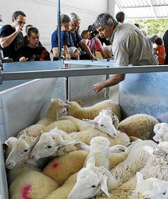 In diesem Jahr wurden 8.000 mallorquinische Schafe in der Landwirtschaftskooperative Pollença verkauft.