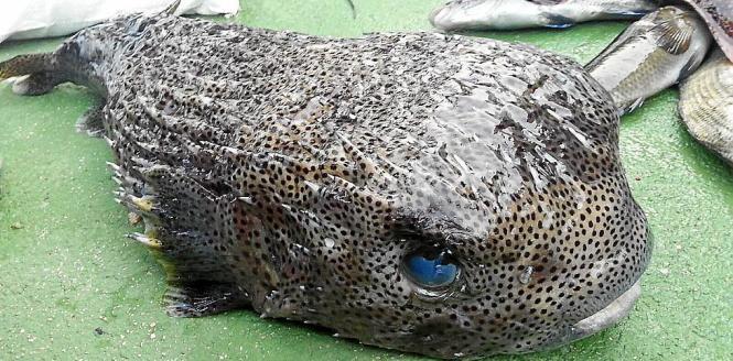 Der Fang wiegt stattliche 7,8 Kilo.
