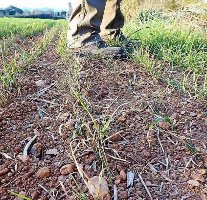 Für einige Landwirte auf Mallorca sind die Ernteerträge gänzlich ausgefallen.