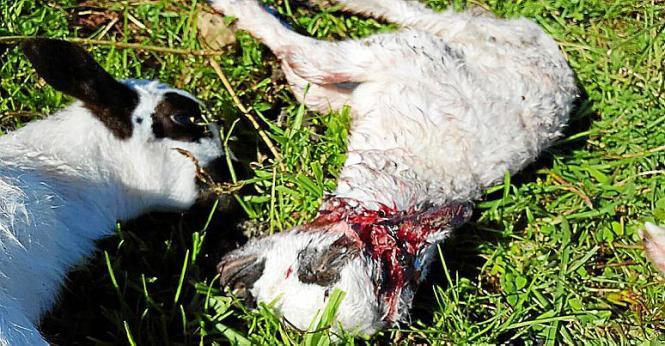 Dem betroffenen Landwirt auf Mallorca bot sich ein schlimmes Bild.