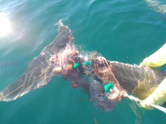 Der Delfin hatte sich in einem Fischernetz in der Bucht von Palma de Mallorca verfangen.