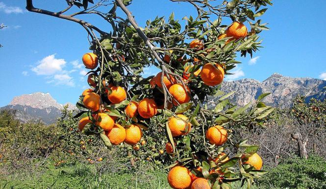 Mandarinen satt, heißt es dieses Jahr in Sóller.
