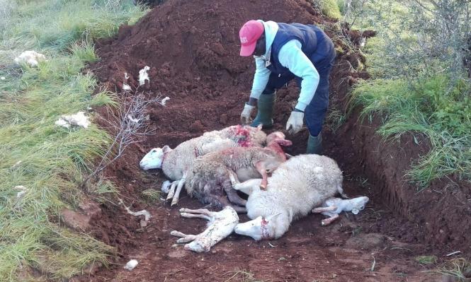 Ein Arbeiter soll die gerissen Schafe im Erdreich vergraben.