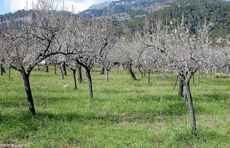 Die Mandelblüte ist eines der Wahrzeichen Mallorcas. Bauern sehen die Bäume nun durch das Feuerbakterium gefährdet.