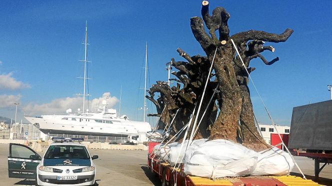 Die Einfuhr von Pflanzen und Bäumen im Hafen von Palma wird streng überwacht.
