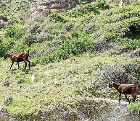 Die Ziegen gelten in Teilen Mallorcas als Plage