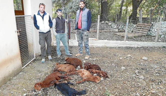 Die Viehzüchter Jaume Coll, Andreu Rotger und Miquel Ponse neben den gerissenen Schafen