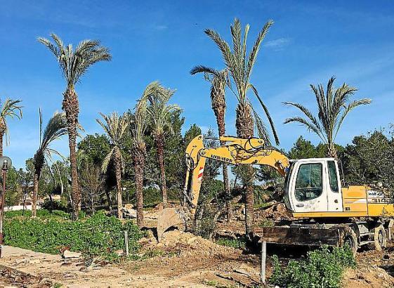 Mit Baggern wurden die Palmen aus Can Picafort nun wieder eingepflanzt.