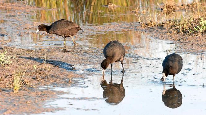 Wasservögel in der S'Albufera.