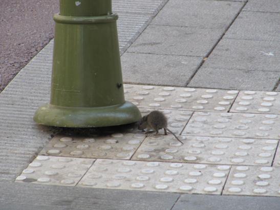 Auch auf den Straßen der Stadt sieht man die Ratten, die zur Plage werden können.