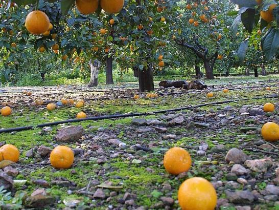 Trotz der vergangenen Unwetter wird die Orangen-Ernte gut