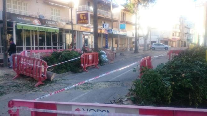 Die Gummibäume am Paseo Marítimo von Cala Bona im Osten von Mallorca sind bereits gefällt worden.