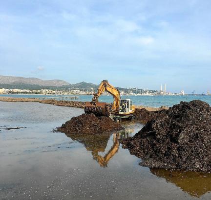 Drei Wochen dauern die Arbeiten zur Beseitigung der Algen in Port d'Alcúdia bereits an.