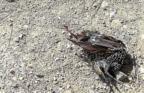 Einer der toten Vögel in Palmas Innenstadt