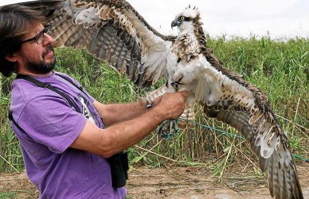 Ingrid ist der neunte Fischadler, den die Ornithologen des GOB mit einem Sender ausgestattet haben.