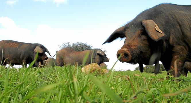 Der Schinken vom schwarzen Schwein aus Mallorca wird in der Region Guijuela bei Salamanca an der Luft getrocknet.