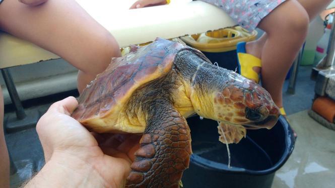 Helfer kümmern sich um eine verletzte Meeresschildkröte