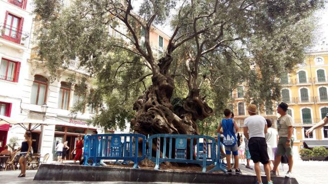 Zunächst sollen provisorische Absperrungen den Baum schützen