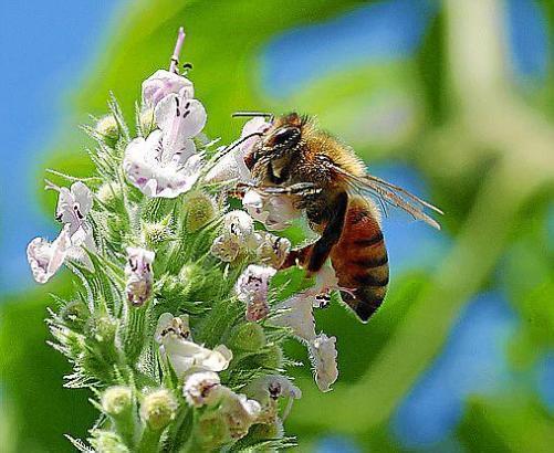 Mallorca gehen nach Expertenangaben die Honigbienen aus.