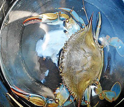 Zum ersten Mal wurde auf den Balearen eine amerikanische Blaukrabbe gefangen.