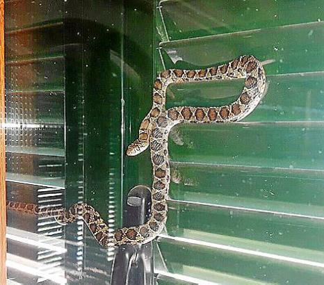 Karñ-Heinz Bruns hat die Schlange an seiner Hauswand in Capdepera entdeckt