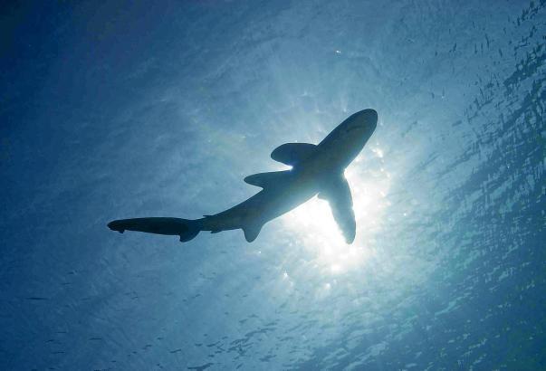 In diesem Sommer wurde mehrmals Hai vor Mallorcas Küsten gesehen