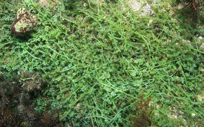 """Die tropische Algenart """"Caulerpa cylindracea"""" hat eine toxische Wirkung auf Fische und Seeigel."""