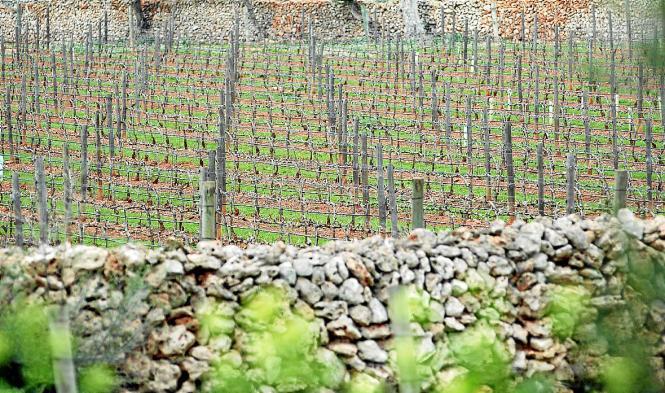 Erstmals wurden in Weinpflanzungen der Insel vier befallene Weinstöcke entdeckt. Der Standort ist unbekannt.