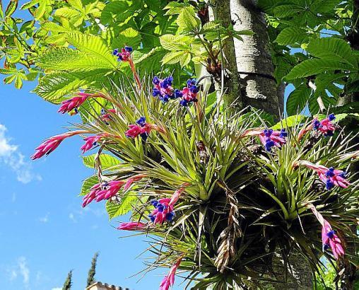 Luftnelke in voller Blüte
