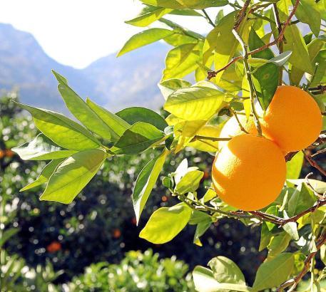 Gesunde Orangen an gepflegten Bäumen - wieder ein gewohntes Bild.