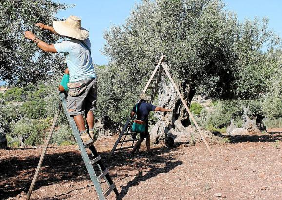 Die Bäume müssen mindestens 75 Jahre alt sein, damit ihre Früchte das Herkunftssiegel erhalten.