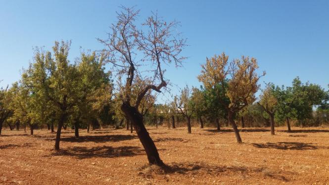 Abgestorbener Mandelbaum auf Mallorca.