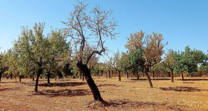 BU: Ledglich von Xylella befallene Bäume müssen gefällt und beseitigt werden.