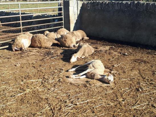 Tote Schafsherde in der Nähe von Inca.