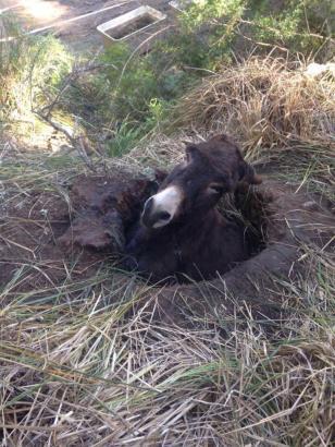 Ein Esel auf Mallorca in misslicher Lage.