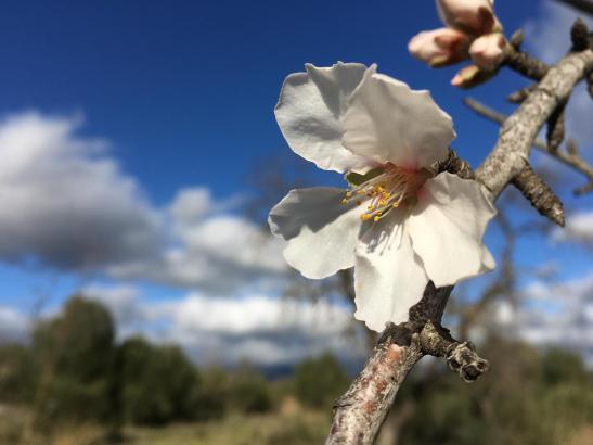 Gleich hinter Palma blühen die ersten Mandelbäume.