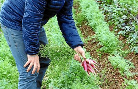 """Landwirt Tomeu Domenge hat sich der Rettung der """"Safarnària"""" verschrieben."""