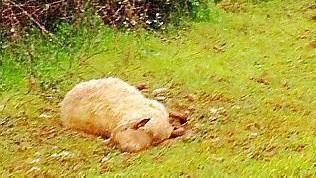 Totes Schaf bei Inca in der Inselmitte Mallorcas.