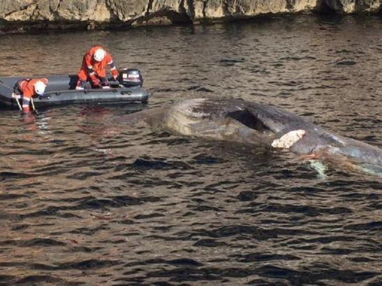 Der Wal wird Richtung Insel gezogen.