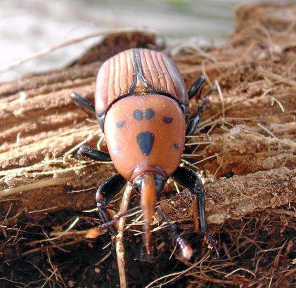 Der Rhynchophorus ferrugineus befällt Palmen. Der Kampf gegen den Käfer wird nicht mehr mit der einstigen Entschlossenheit gefüh