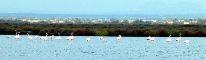 Flamingos stehen am liebsten im Wasser. Dort jagen sie nach kleinen Krustentieren.