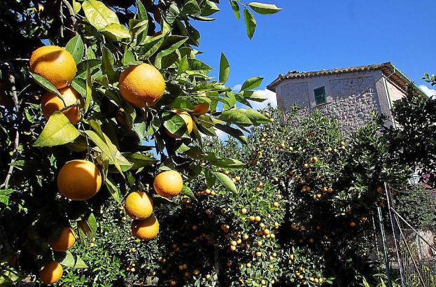Reife Orangen als Beutegut auf Mallorca (Symbolfoto).